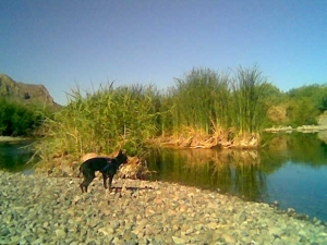 Chloe helps locate fish on the Lower Salt River.
